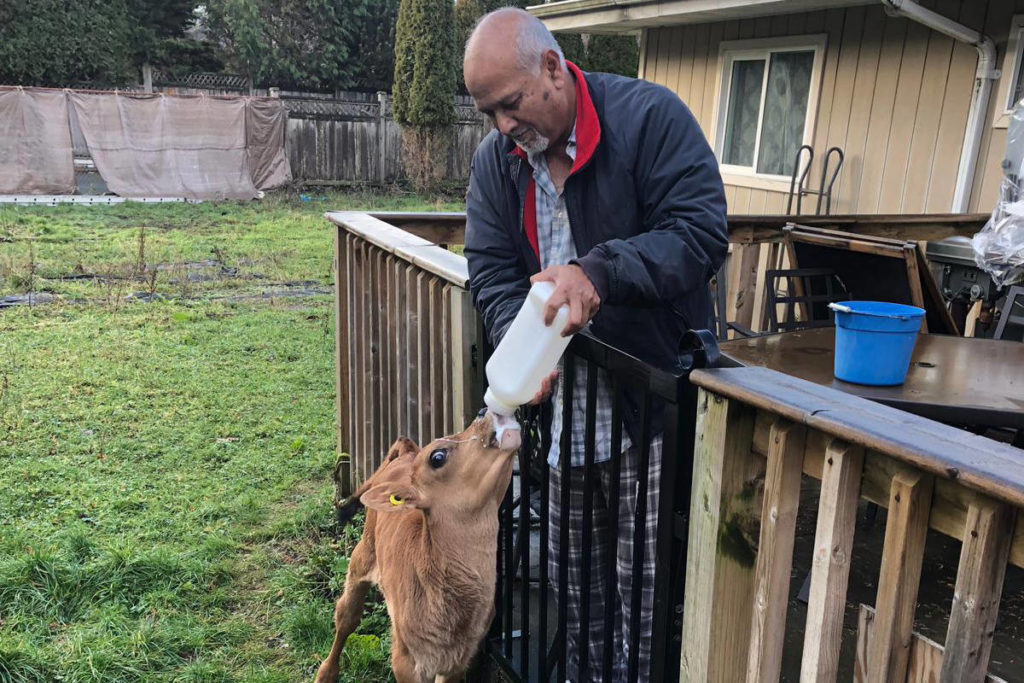 South Surrey man and city settle beef over backyard cow - Aldergrove Star